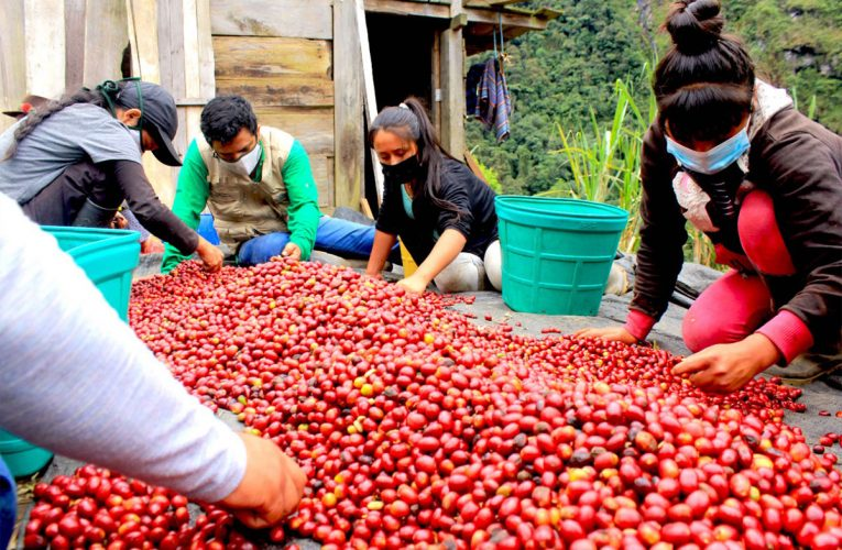 Caficultores de Huánuco cosecharán 1 284 toneladas de café